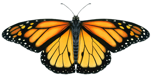 Butterfly_Town_USA_Monarch_Clear_Background-smaller