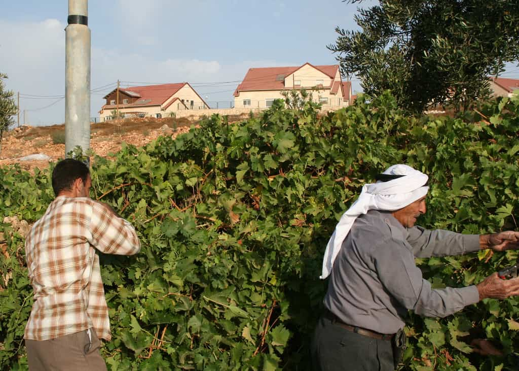Abu Ayaesh and a member of his family pick their grape harvest. in the background, the homes of Karmi Zur settlement can be clearly seen. (Photo: michael loadenthal @ flickr.cc)